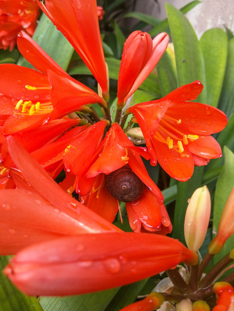 habitats: Natal lily (Clivia miniata is a species of flowering plant native to damp woodland habitats in South Africa