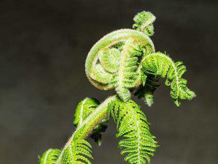 unfurl: Unfurling fiddlehead fern frond in a garden.
