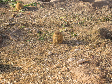 great plains: Black-tailed prairie dog (Cynomys ludovicianus) is a rodent of the family Sciuridae found in the Great Plains of North America.