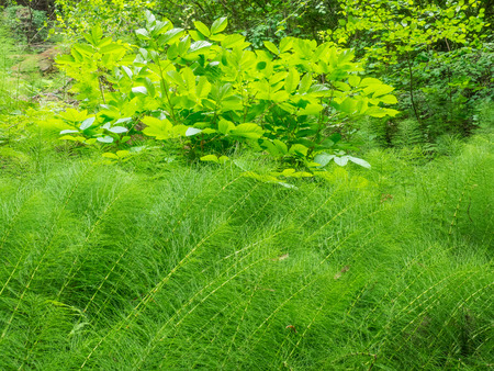 photosynthetic: Northern giant horsetail (Equisetum telmateia) is a herbaceous perennial plant, with separate green photosynthetic sterile stems, and pale yellowish non-photosynthetic spore-bearing fertile stems.