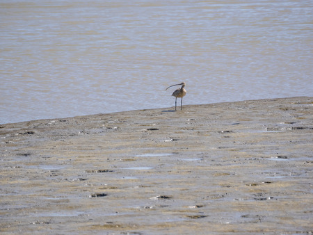 shorebird: Long-billed curlew (Numenius americanus) is a large North American shorebird of the family Scolopacidae. The species is native to central and western North America.