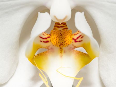 southeastern: Phalaenopsis aphrodite is a species of orchid found from southeastern Taiwan to the Philippines.
