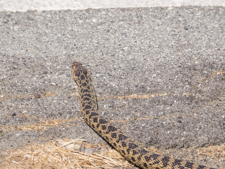 hiss: Pacific gopher snake (Pituophis catenifer catenifer) is a subspecies of large nonvenomous colubrid snake native to the western coast of the United States.