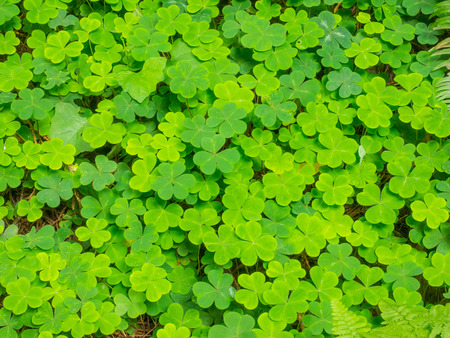 oxalidaceae: Redwood sorrel (Oxalis oregana) os a short, herbaceous perennial plant with erect flowering stems 5–15 cm tall.