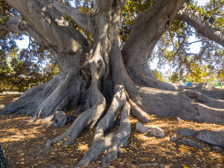 largest tree: Santa Barbaras Moreton Bay Fig Tree located in Santa Barbara, California