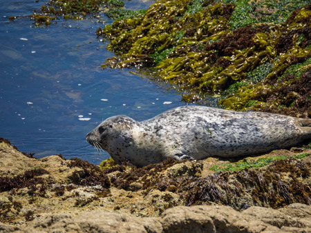 Harbor seal (Phoca vitulina) is a true seal found along temperate and Arctic marine coastlines of the Northern Hemisphere.