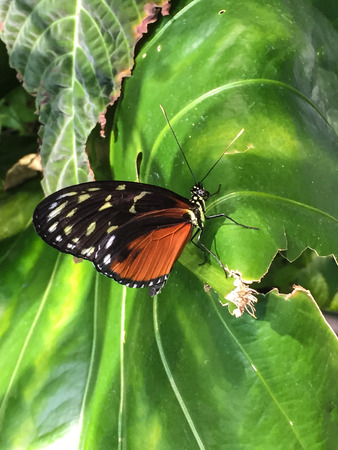 longwing: Tiger Longwing (Heliconius hecale) is a Heliconiid butterfly that occurs from Mexico to the Peruvian Amazon. Stock Photo