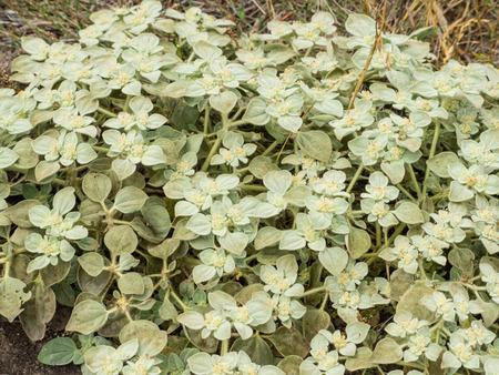 baja california: Beach saltbush (Atriplex leucophylla) is a species of saltbush native to the coastline of California and Baja California, and the Channel Islands. Stock Photo