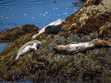 Harbor seal (Phoca vitulina) is a true seal found along temperate and Arctic marine coastlines of the Northern Hemisphere. Banco de Imagens - 43277452