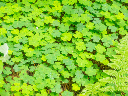 erect: Redwood sorrel (Oxalis oregana) os a short, herbaceous perennial plant with erect flowering stems 5–15 cm tall. Stock Photo