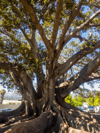 Santa Barbaras Moreton Bay Fig Tree located in Santa Barbara, California is believed to be the largest Ficus macrophylla in the United States. Stock Photo