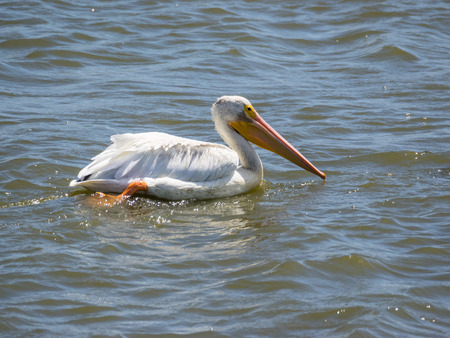 pelecanus: American white pelican (Pelecanus erythrorhynchos) is a large aquatic soaring bird from the order Pelecaniformes.