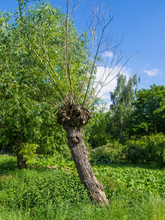 pollard: Knotted willow tree on the meadow in Poland