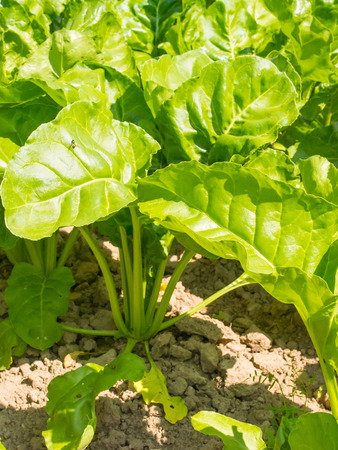 sucrose: Sugar beet, cultivated Beta vulgaris, is a plant whose root contains a high concentration of sucrose. Stock Photo