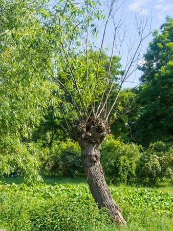 salix alba: Knotted willow tree on the meadow in Poland