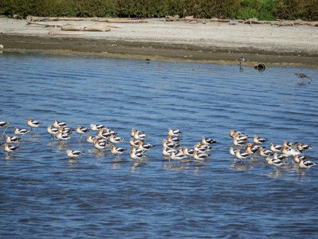 wader: American avocet (Recurvirostra americana) is a large wader in the avocet and stilt family, Recurvirostridae.