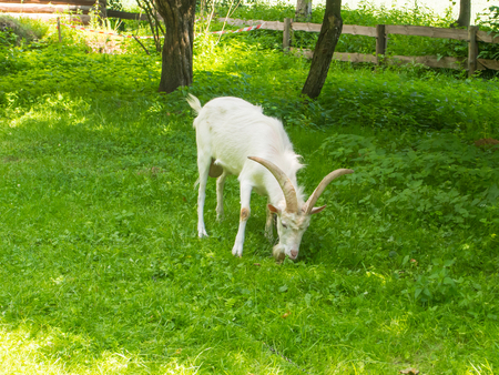 hircus: Polish White Improved goat (Capra hircus) a breed of domestic utility type goat with a short, shimmering white hair.