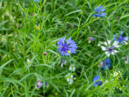 centaurea: Cornflower (Centaurea cyanus) is an annual flowering plant in the family Asteraceae, native to Europe. Stock Photo