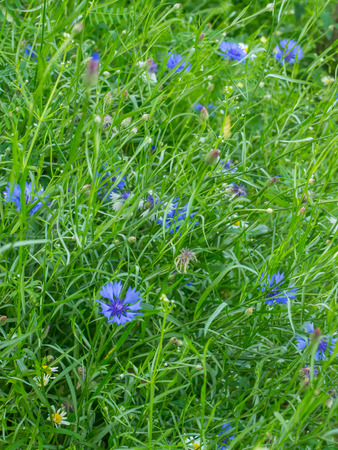 asteraceae: Cornflower (Centaurea cyanus) is an annual flowering plant in the family Asteraceae, native to Europe. Stock Photo
