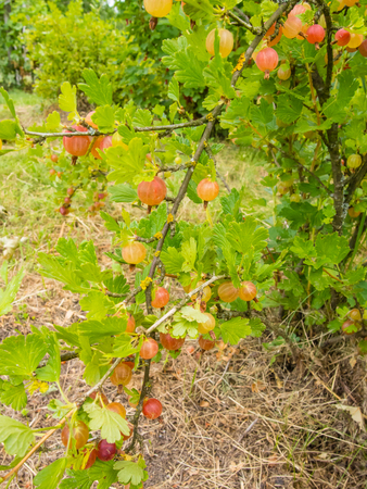 Gooseberry (Ribes uva-crispa) is a species of Ribes (which also includes the currants). It is native to Europe, northwestern Africa, west, south and southeast Asia.