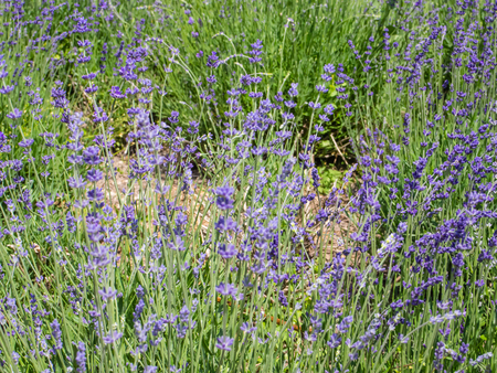lavandula angustifolia: Lavandula angustifolia is a flowering plant in the family Lamiaceae, native to the western Mediterranean, primarily the Pyrenees and other mountains in northern Spain.