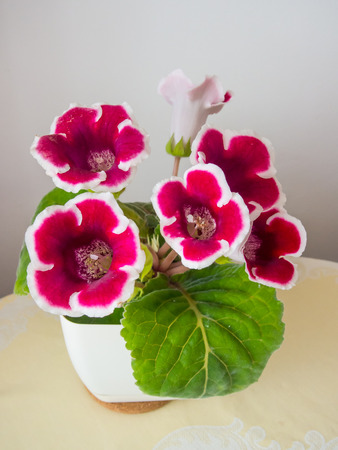 tuberous: Gloxinia (Sinningia speciosa) is a tuberous member of the flowering plant family Gesneriaceae.