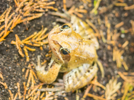 rana: European grass frog (Rana temporaria) is a semi-aquatic amphibian of the family Ranidae, found throughout much of Europe.