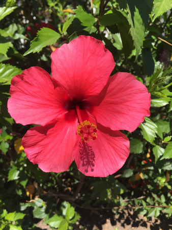 east asia: Rose mallow (Hibiscus rosa-sinensis) is a species of flowering plant in the family Malvaceae, native to East Asia. Stock Photo