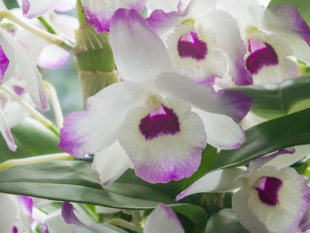 orchidaceae: Noble Dendrobium (Dendrobium nobile) is a member of the family Orchidaceae. It has become a popular cultivated decorative house plant. Stock Photo