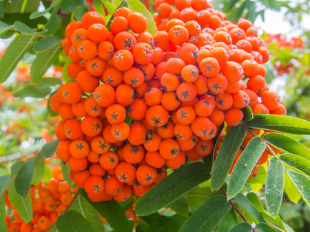 rowan tree: Red berries from Rowan tree (Sorbus aucuparia) that ripen from August to October and are eaten by many bird species. Stock Photo