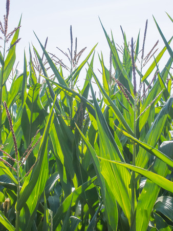 zea mays: Maize (Zea mays) is a large grain plant domesticated by indigenous peoples in Mesoamerica in prehistoric times. Stock Photo