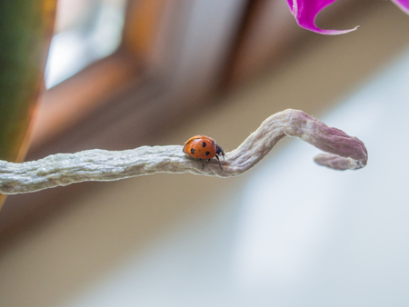 coccinella: Seven-spot ladybird (Coccinella septempunctata) is the most common ladybird in Europe.