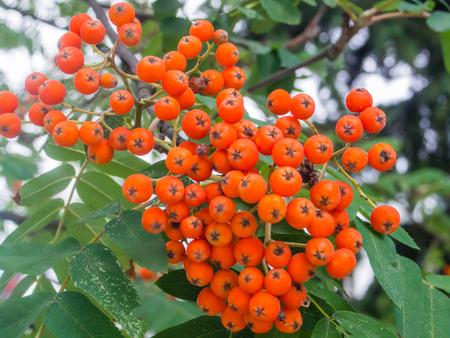 レッドベリーはナナカマド (セイヨウナナカマド) 8 月から 10 月に熟し、多くの鳥種によって食べられることから。