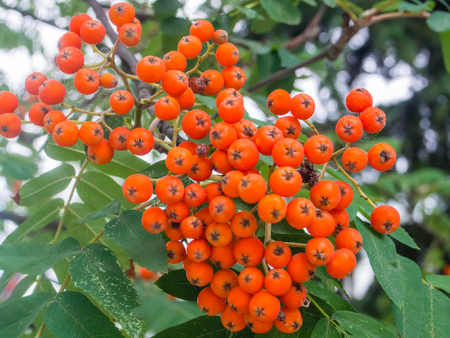 aucuparia: Red berries from Rowan tree (Sorbus aucuparia) that ripen from August to October and are eaten by many bird species. Stock Photo