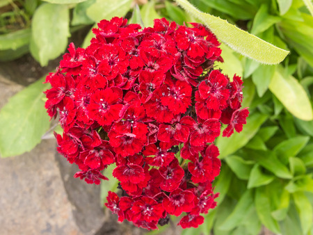 southern europe: Sweet William (Dianthus barbatus) is a species of Dianthus native to southern Europe and parts of Asia which has become a popular ornamental garden plant. Stock Photo