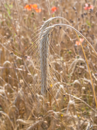 forage: Rye (Secale cereale) is a grass grown extensively as a grain, a cover crop and as a forage crop. Stock Photo