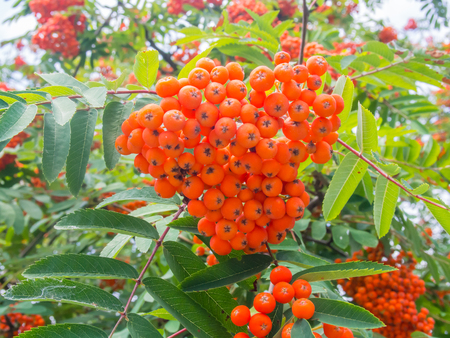 Red berries from Rowan tree (Sorbus aucuparia) that ripen from August to October and are eaten by many bird species. Banco de Imagens