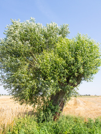 pollard willows: Goat willow (Salix caprea) is a common species of willow native to Europe and western and central Asia. Stock Photo