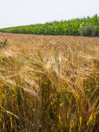 vulgare: Barley (Hordeum vulgare), a member of the grass family, is a major cereal grain.