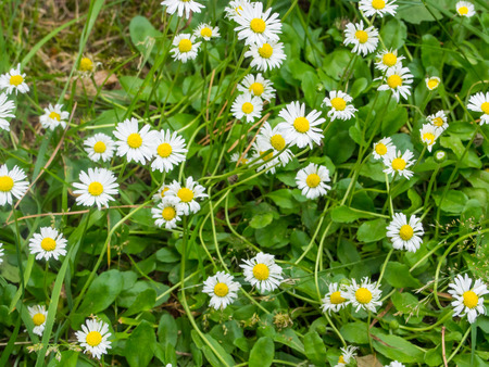 oxeye: Oxeye daisy (Leucanthemum vulgare) is a widespread flowering plant native to Europe. Stock Photo