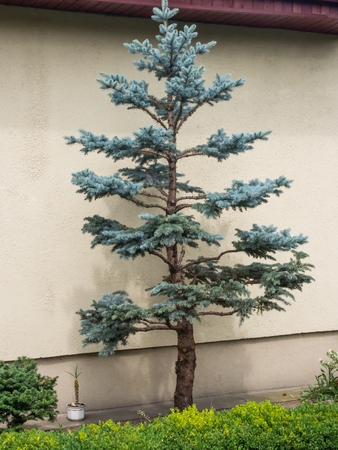 picea: Colorado blue spruce (Picea pungens) is a species of spruce tree. It is native to the Rocky Mountains of the United States. Stock Photo