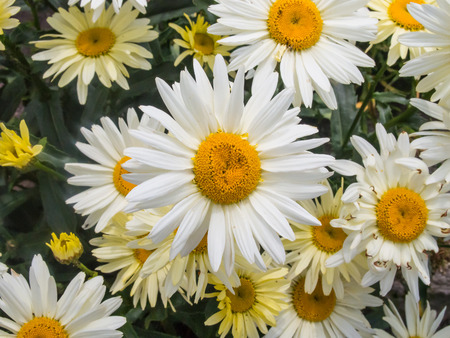 leucanthemum: Oxeye daisy (Leucanthemum vulgare) is a widespread flowering plant native to Europe. Stock Photo