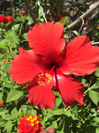malvaceae: Rose mallow (Hibiscus rosa-sinensis) is a species of flowering plant in the family Malvaceae, native to East Asia. Stock Photo