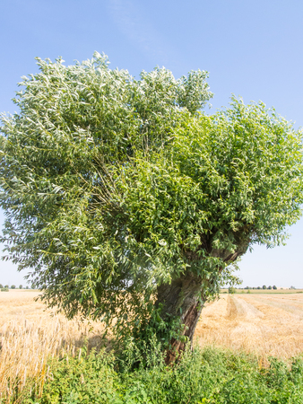 pollard: Goat willow (Salix caprea) is a common species of willow native to Europe and western and central Asia. Stock Photo