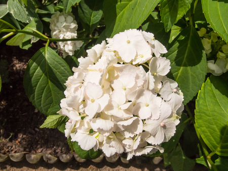 bigleaf hydrangea: Bigleaf hydrangea (Hydrangea macrophylla) is a species of flowering plant in the family Hydrangeaceae, native to China and Japan. Stock Photo