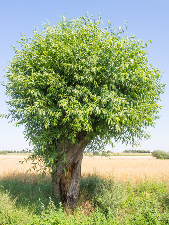 Goat willow (Salix caprea) is a common species of willow native to Europe and western and central Asia. Stock Photo