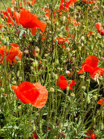 derived: Opium poppy, Papaver somniferum, is the species of plant from which opium and poppy seeds are derived.