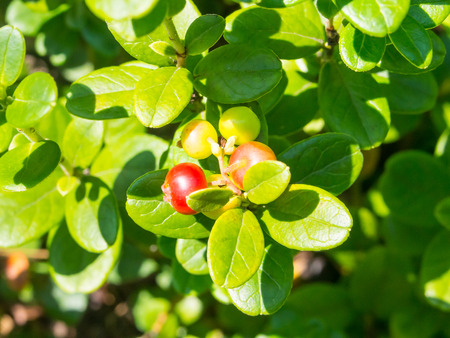 boreal: Lingonberry (Vaccinium vitis-idaea) is a short evergreen shrub in the heath family that bears edible fruit, native to boreal forest and Arctic tundra throughout the Northern Hemisphere. Stock Photo