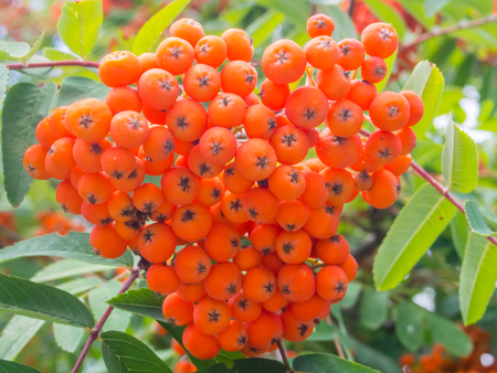 sorbus: Red berries from Rowan tree (Sorbus aucuparia) that ripen from August to October and are eaten by many bird species. Stock Photo