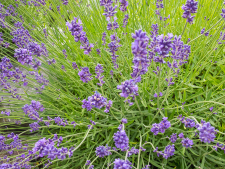 primarily: Lavandula angustifolia is a flowering plant in the family Lamiaceae, native to the western Mediterranean, primarily the Pyrenees and other mountains in northern Spain.